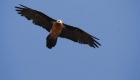 gypaete du rocher au vautour