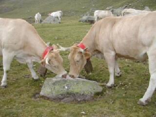 vache en estive